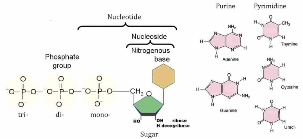 Bagan perbedaan nukleosida dan nukleotida