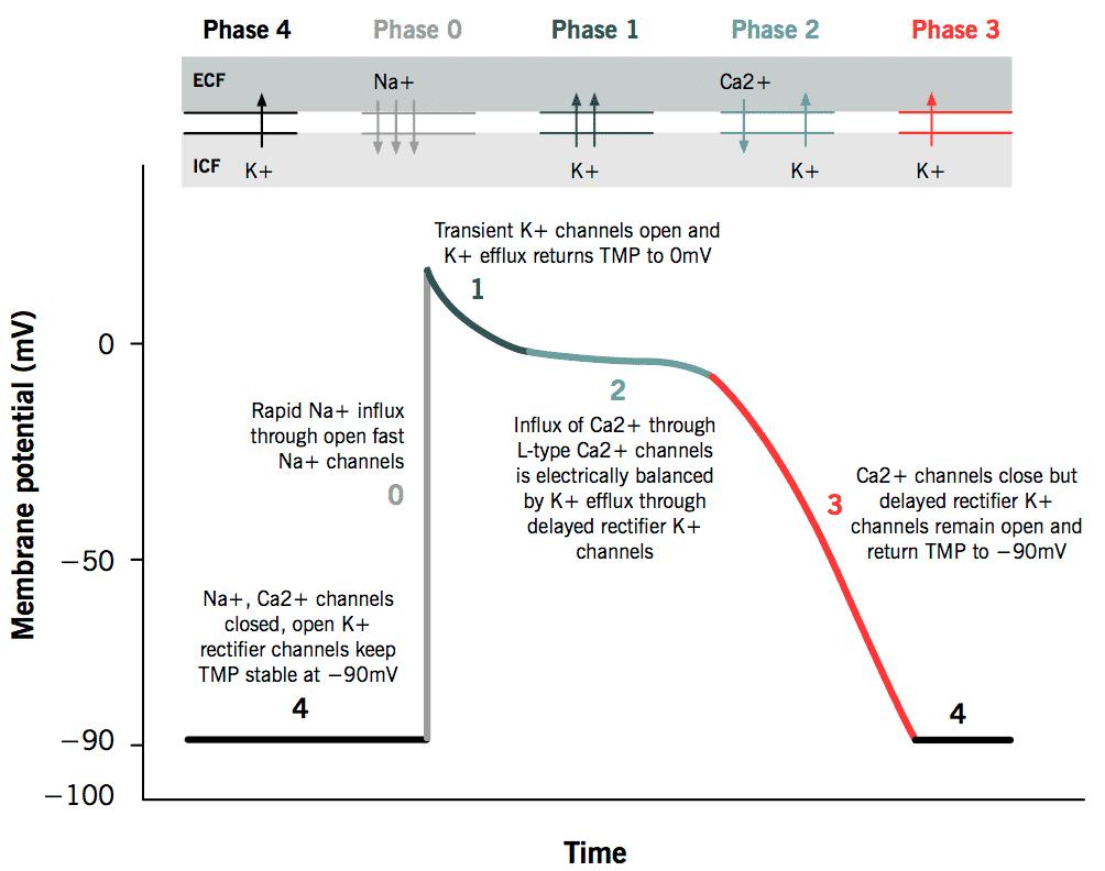 Gambaran fase potensial aksi dari jantung