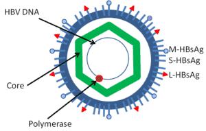 Gambar skematis virus hepatitis B