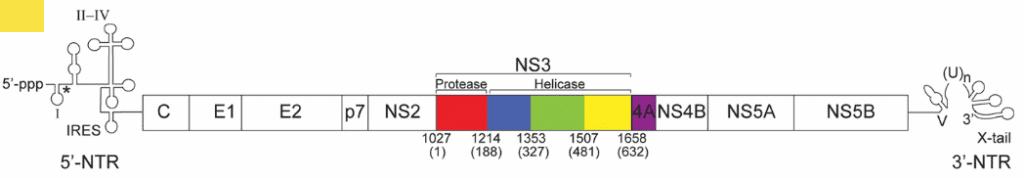 Gen NS3 pada genom HCV