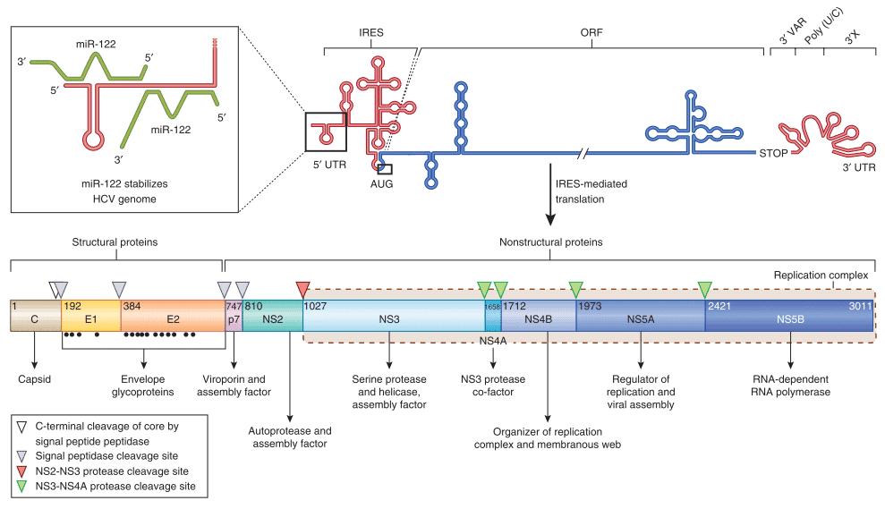 Struktur genom hepatitis C