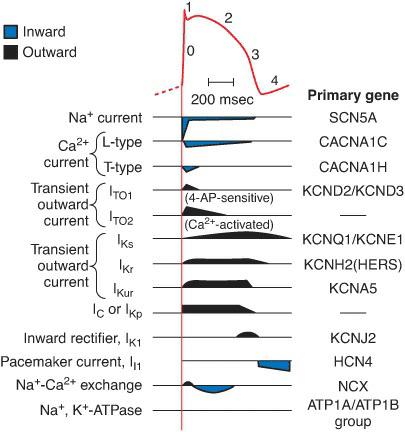 Gambaran kanal ion yang bekerja sesuai dengan pada saat setiap fase potensial aksi otot jantung