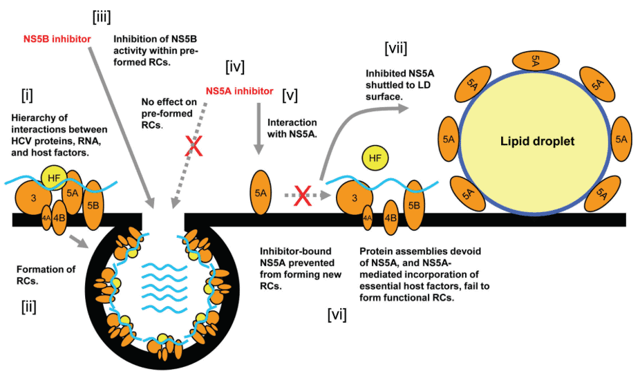 Fungsi sentral NS5A dalam proses perakitan komponen virus dan replikasi genom HCV