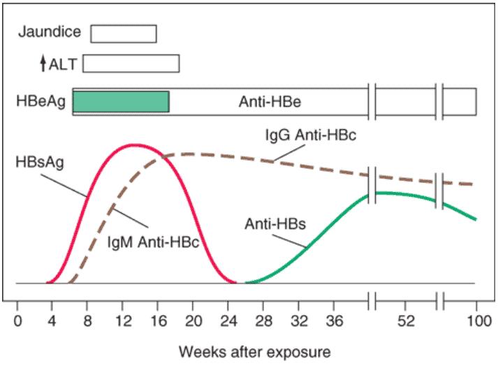 Grafik serologi hepatitis B akut