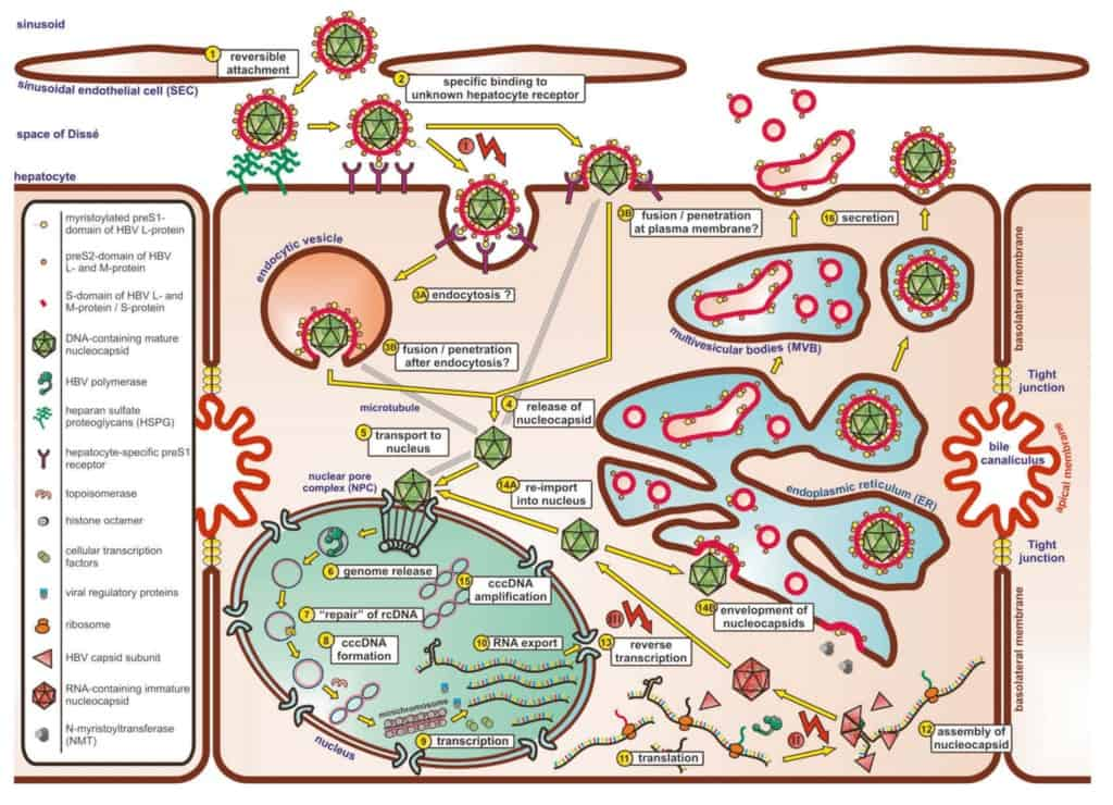 Siklus replikasi virus hepatitis B