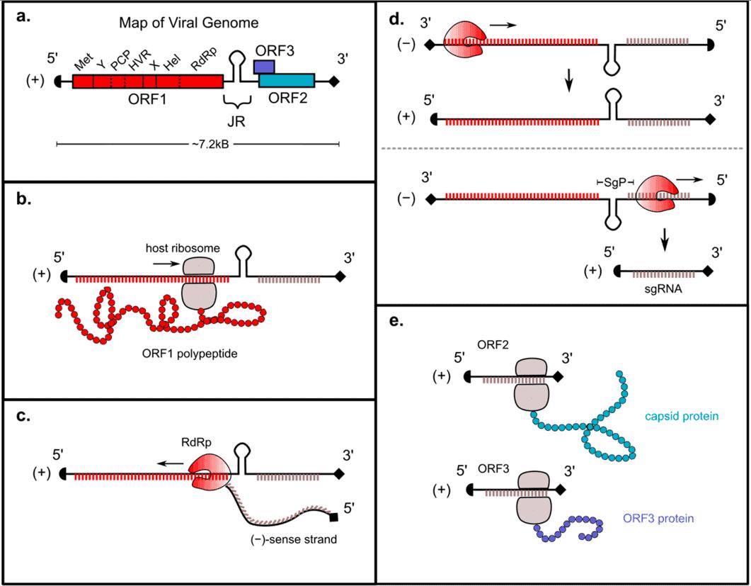 Penjelasan organisasi genom dan replikasi HEV
