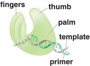 Struktur umum polimerase RNA dependen RNA