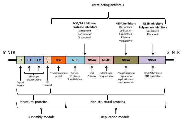 Genom HCV, DAA menyerang protein yang diproduksi gen protein non struktural dari HCV
