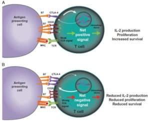 Kostimulasi APC dengan CD28 dan CTLA_4
