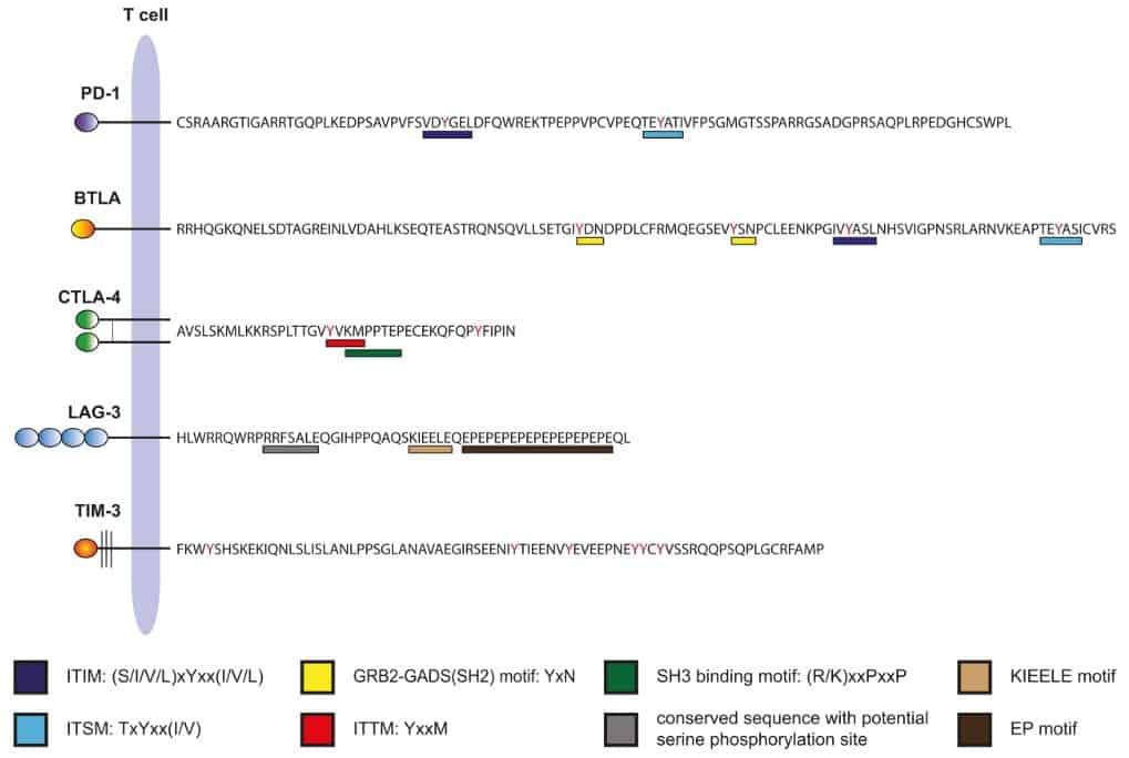 Domain intraseluler dari immune checkpoint pada manusia.