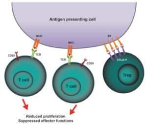 Efek CTLA-4 terhadap sel t regulator