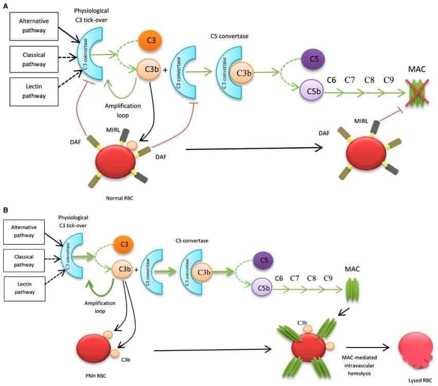 Patogenesis PNH