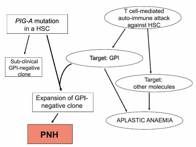 Mutasi PIG-A sebagai penyebab terjadinya PNH