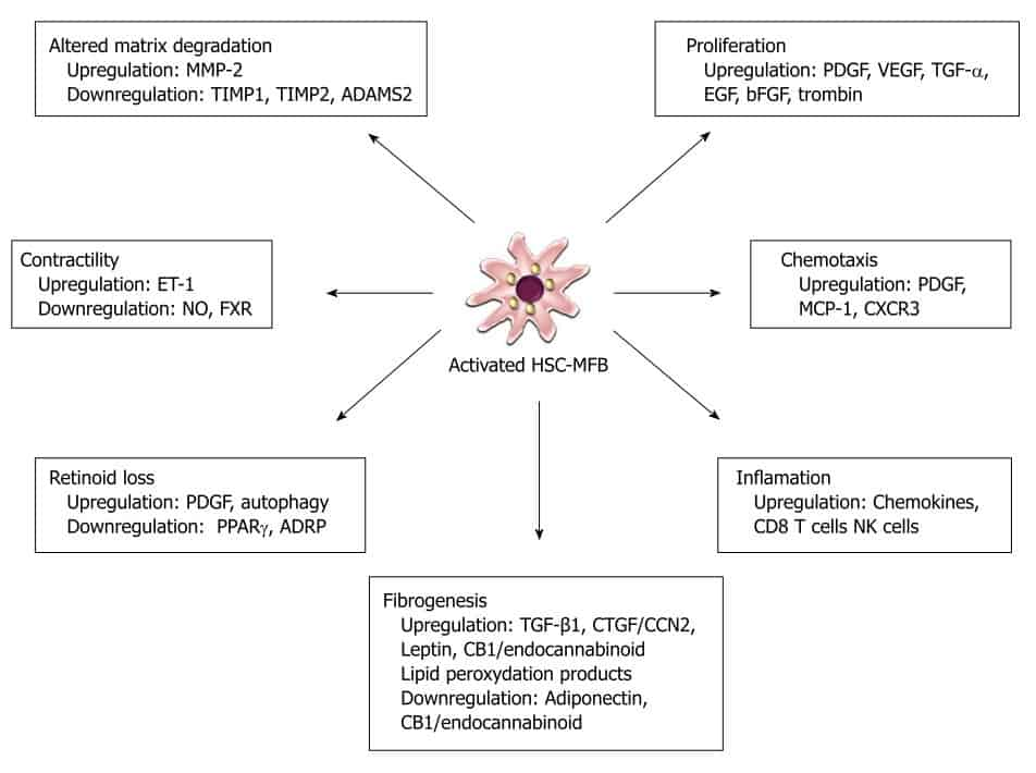 Peranan sel stelata yang aktif pada patogenesis sirosis hati