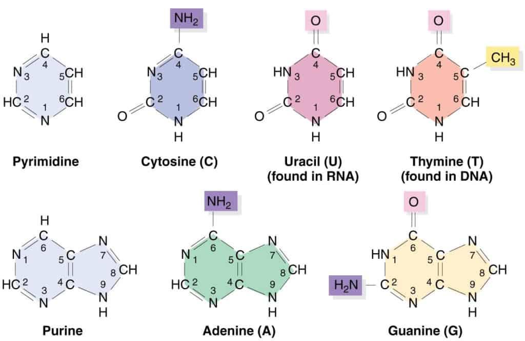 Purin dan pirimidin, basa pembentuk DNA