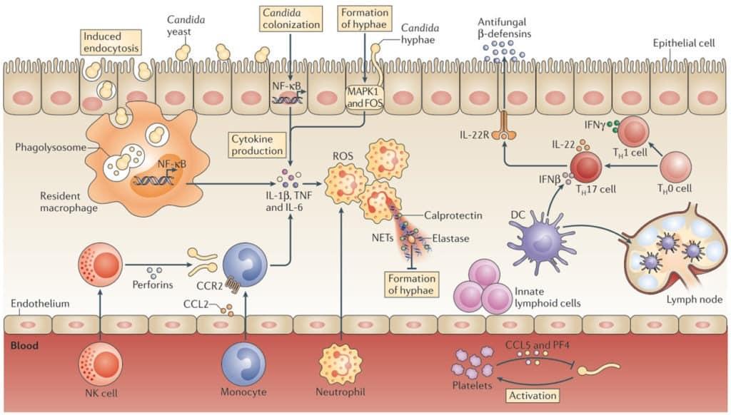 Sistem pertahanan tubuh terhadap Candida