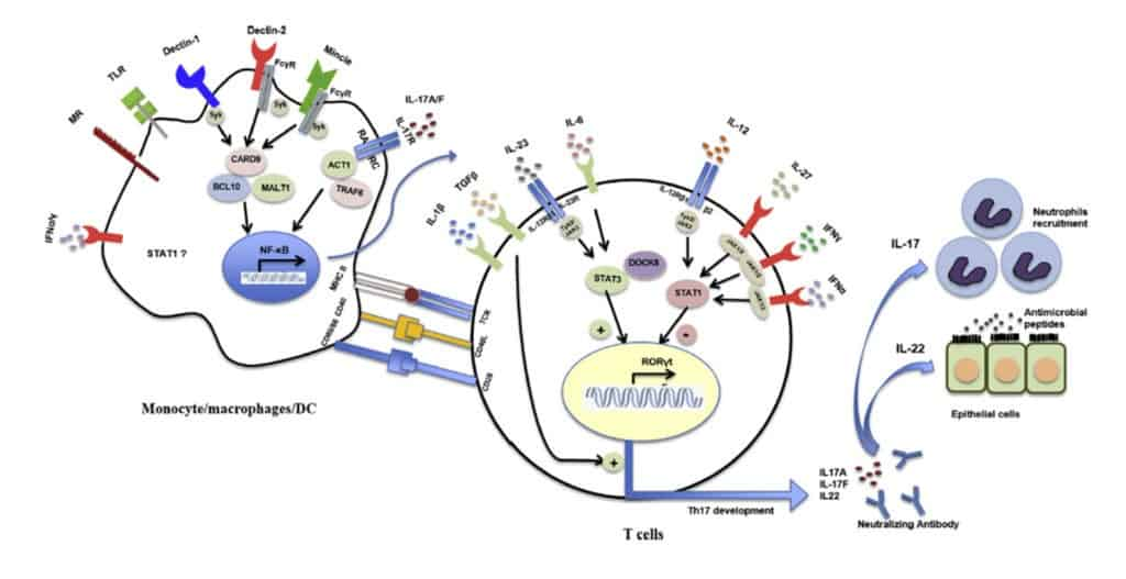 Sistem pertahanan terhadap infeksi Candida