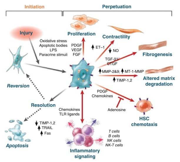 Peran sentral sel Ito pada fase inisiasi dan perpetuasi sirosis hati
