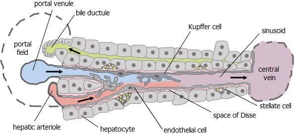 Tempat sel stelata di celah Disse