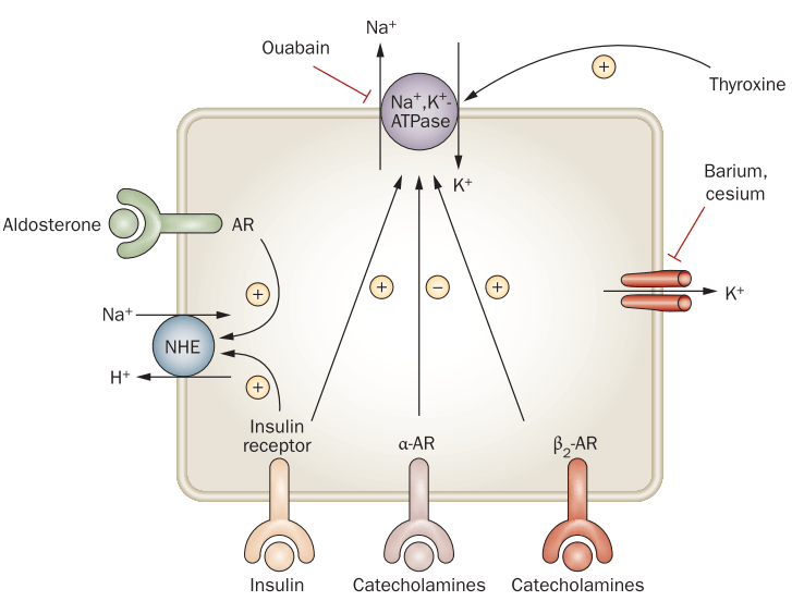 Pergeseran ion kalium dari luar ke dalam sel