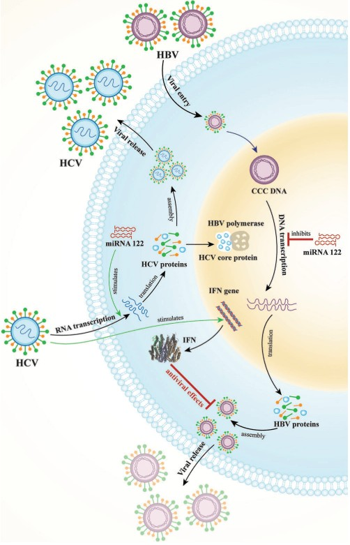 Mekanisme hepatitis B dihambat oleh hepatitis C