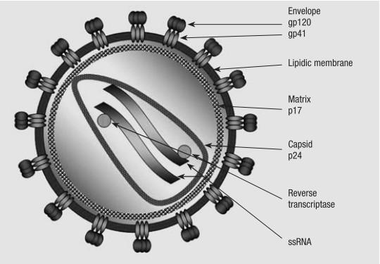 Bagan skematik struktur HIV