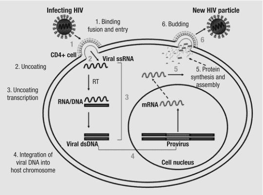 Penjelasan siklus replikasi HIV-1