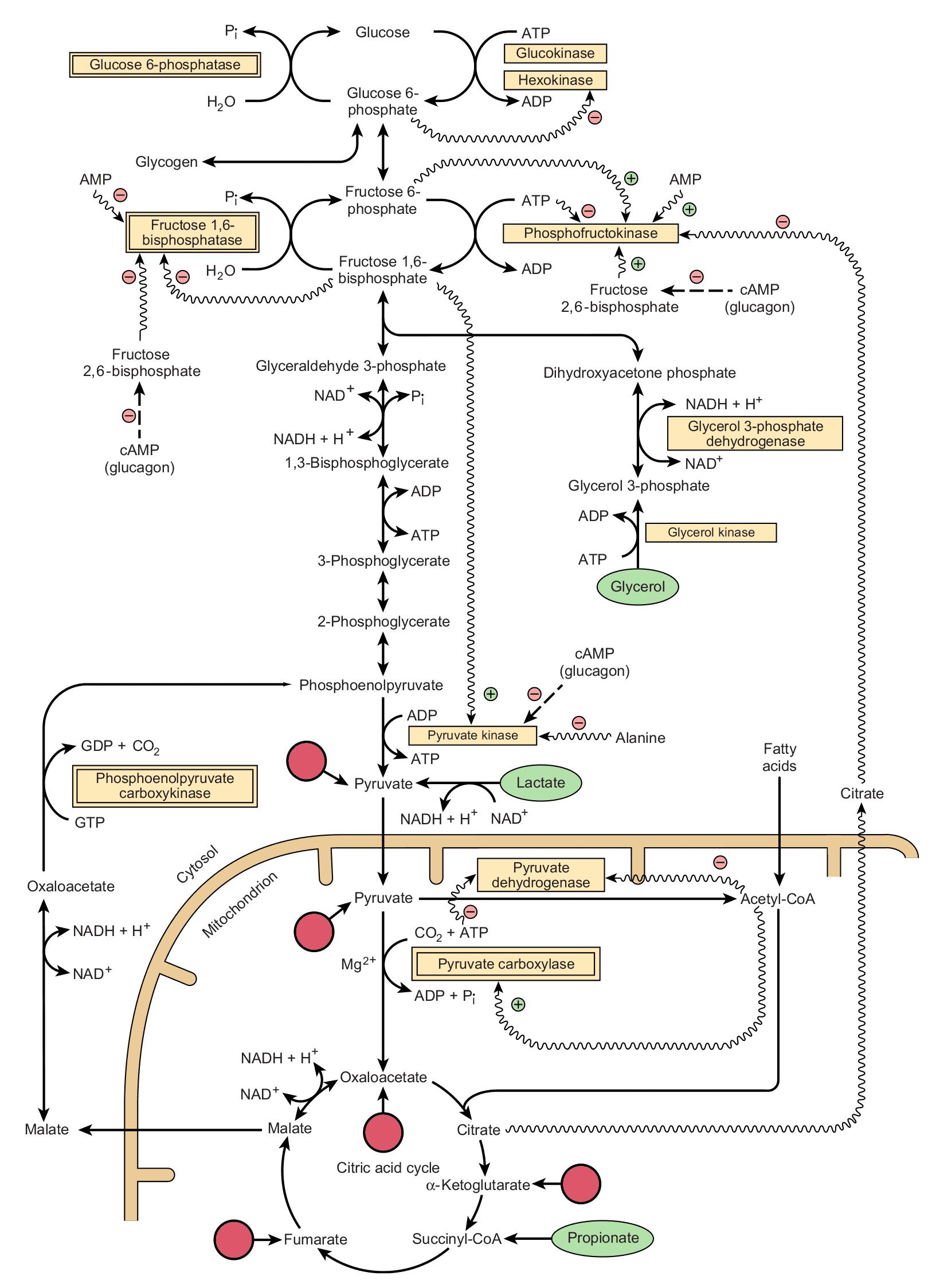 Jalur utama dan regulasi glukoneogenesis dan glikolisis di hati