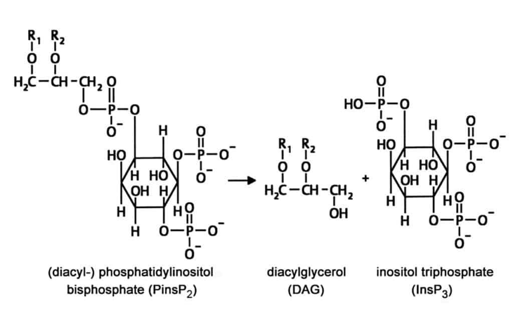Second messenger inositol triphosphate (InsP3) dan diacylglcerol (DAG)