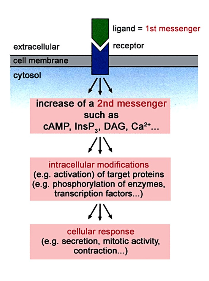 Tahapan aktivasi second messenger dalam relay sinyal dalam sel