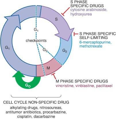 Mekanisme kerja kemoterapi dan siklus sel