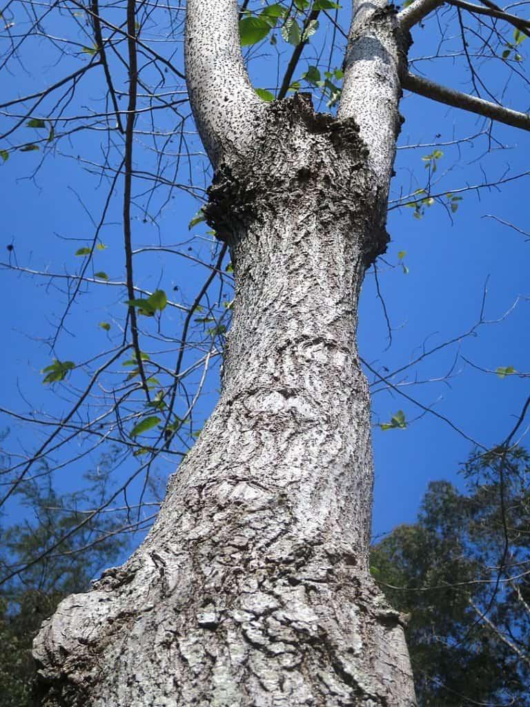 Pohon Captotheca acuminata