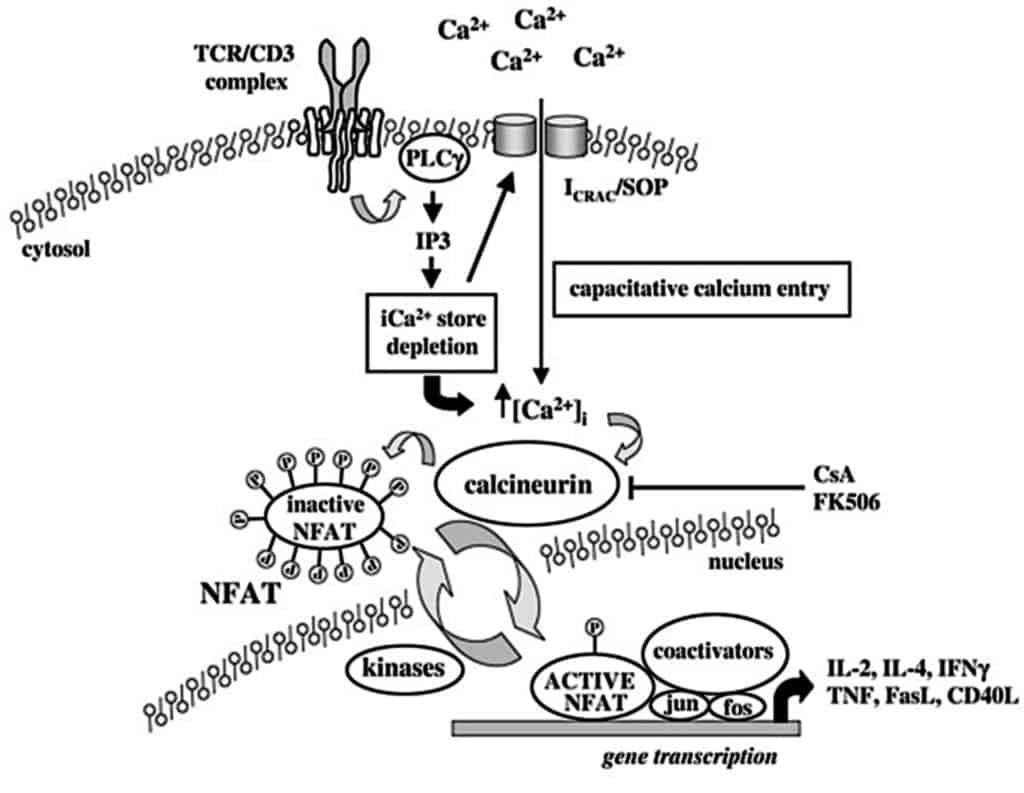 Proses aktivasi calcineurin oleh ion kalsium