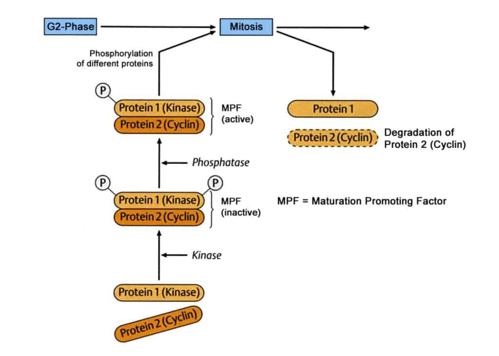 Alur cyclin dan CDK meregulasi siklus sel