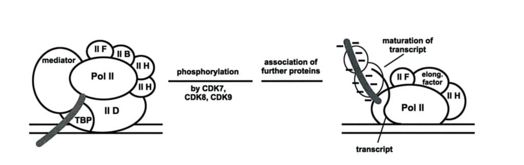Gambar bagaimana fosforilasi RNA-polimerase II oleh CDK mengaktivasi proses transkripsi DNA