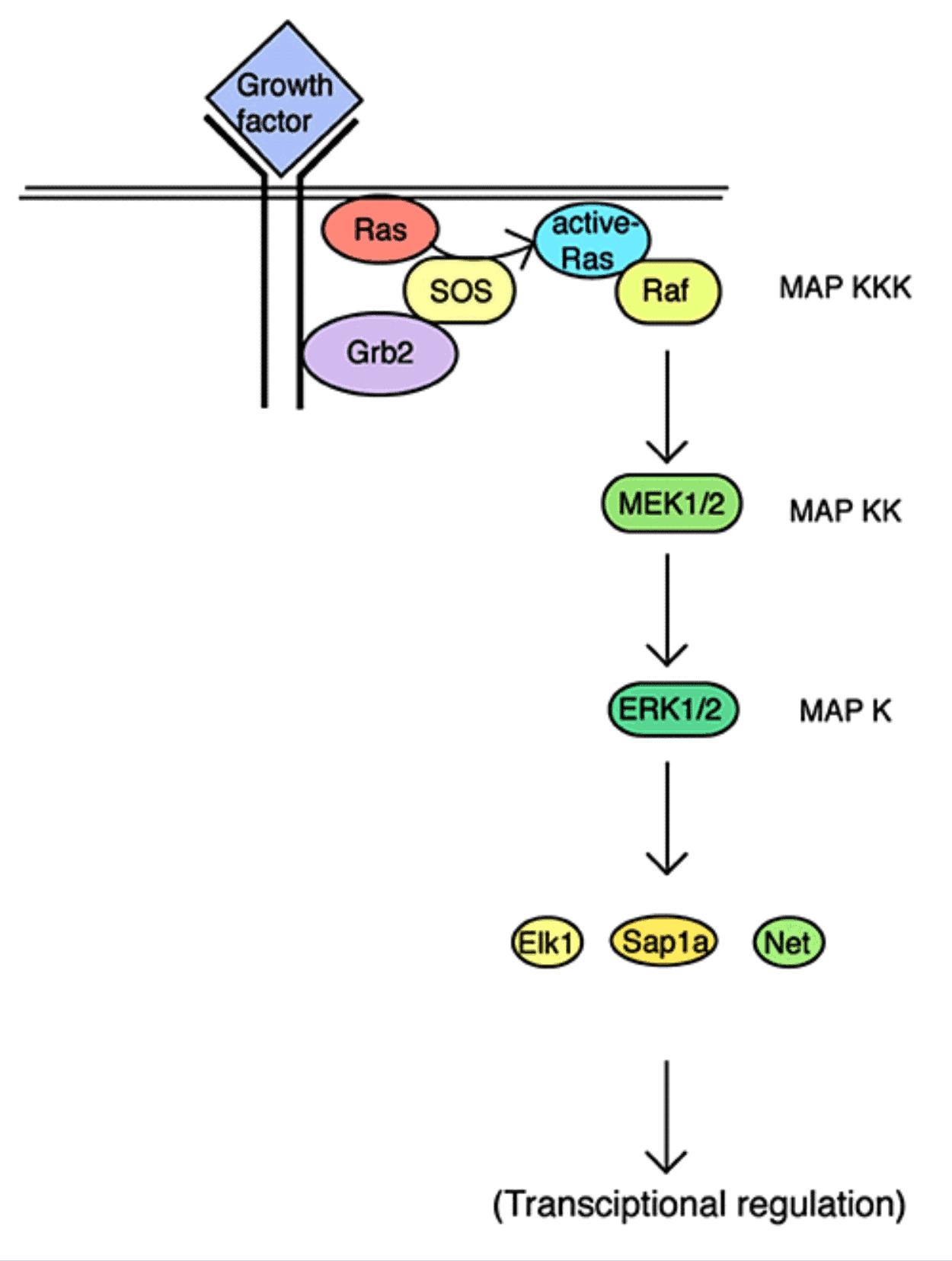 Gambar jalur reaksi MAP-kinase