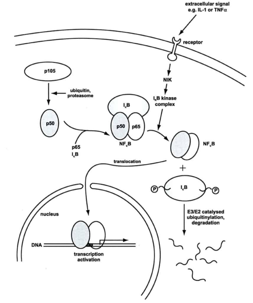 Regulasi sel dalam jalur sinyal inflamasi melalui proses fosforilisasi