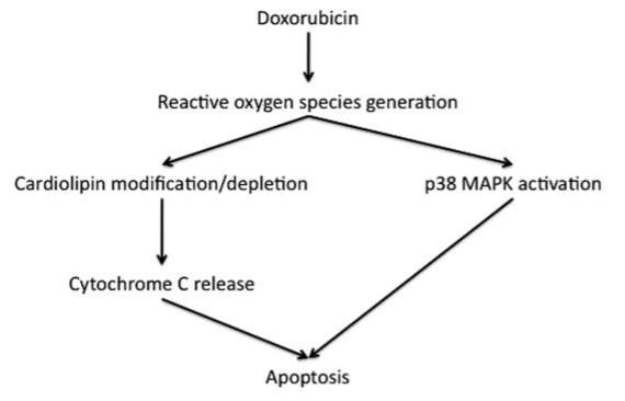 Mekanisme kardiotoksisitas akibat anthracycline