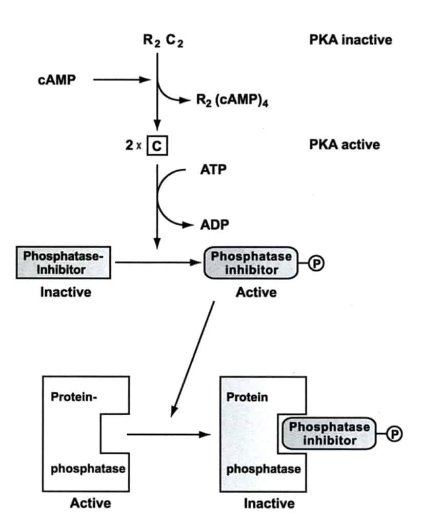Proses regulasi fosfatase oleh inhibitor
