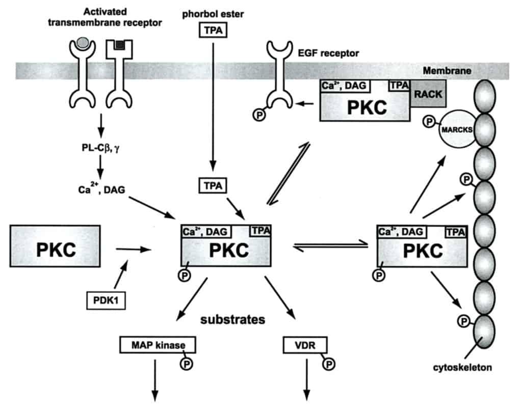 Gambar regulasi sel oleh proteinkinase C (PKC)