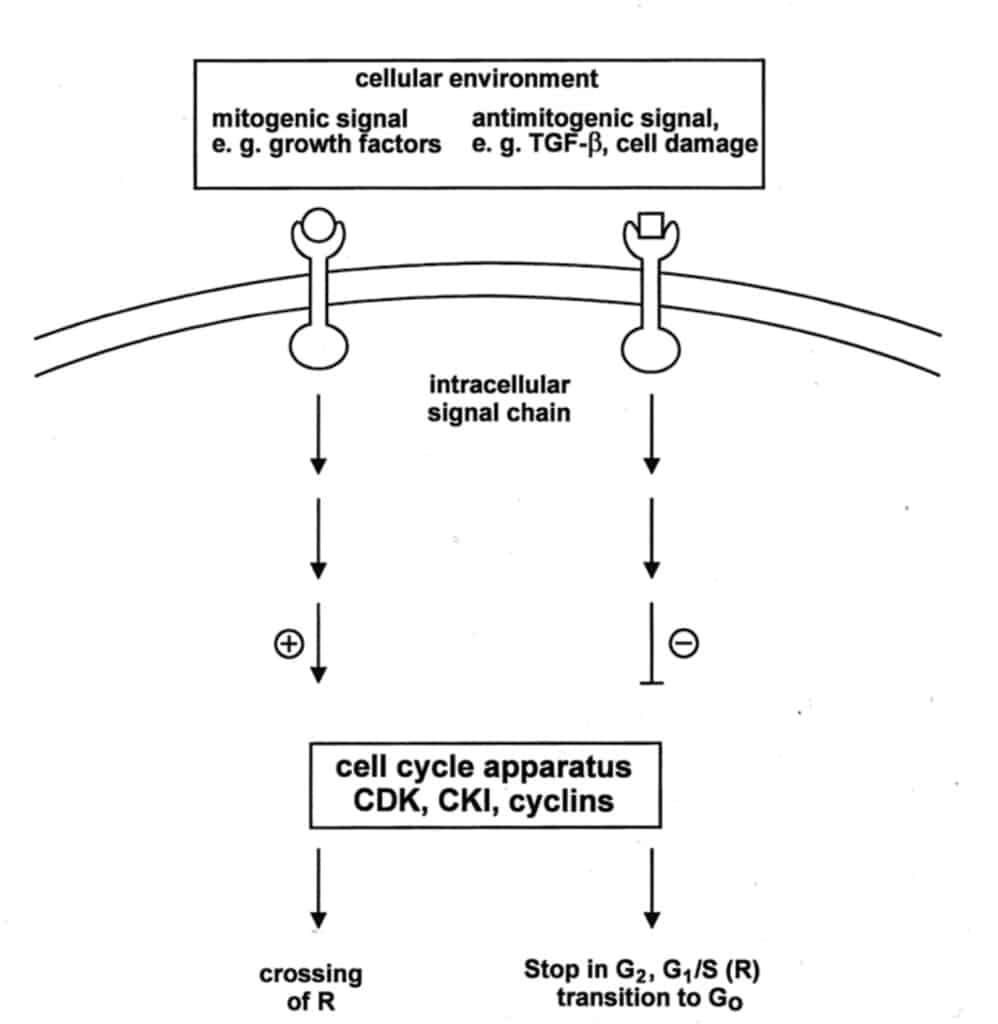 Alur sinyal regulasi siklus sel