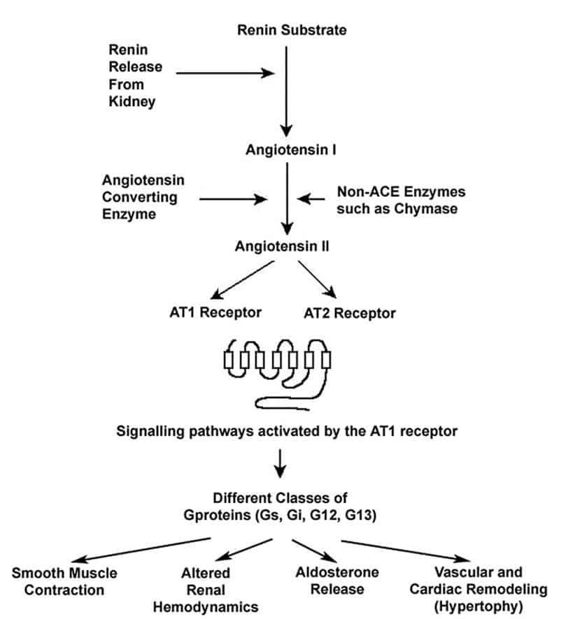 Contoh regulasi sel dengan proteolisis, aktivasi angiotensin terjadi dengan proses proteolitik
