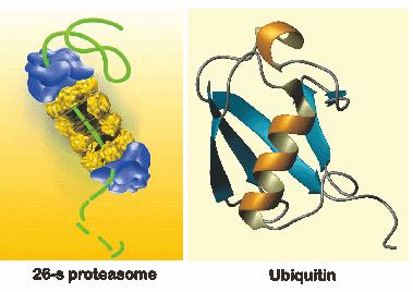 Struktur proteasome dan ubiquitin