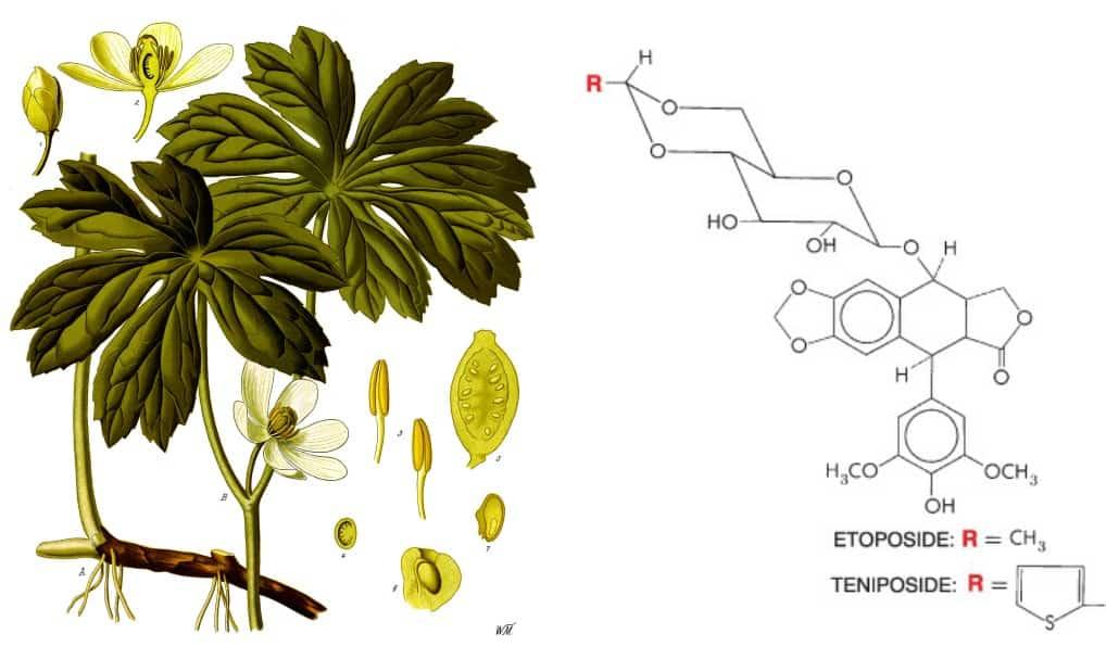 Tanaman mandrake dan struktur etoposide dan teniposide