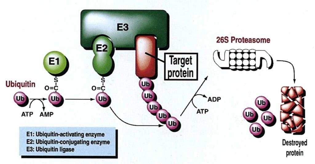 Regulasi sel dengan ubiquitinisasi diikuti dengan degradasi protein oleh proteasome