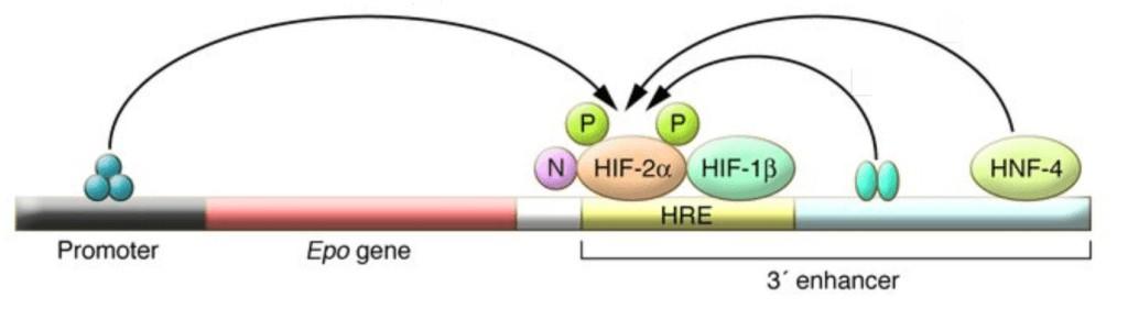 Posisi relatif gen Epo dan HRE
