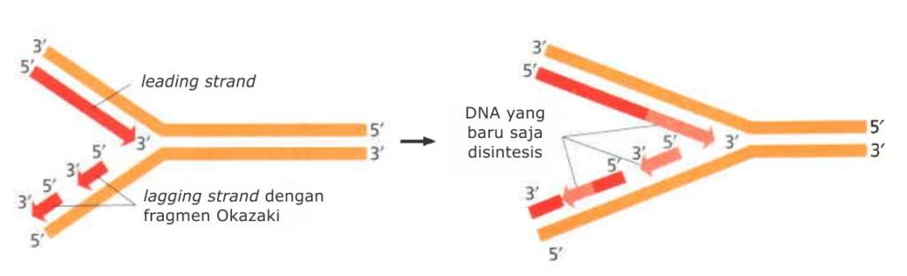 Replikasi DNA pada lagging strand