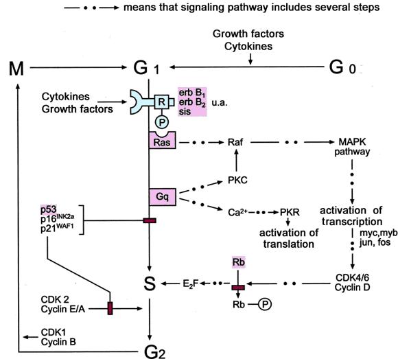 Mekanisme regulasi sinyal Ras/Raf oleh berbagai protein untuk mengendalikan proses proliferasi sel