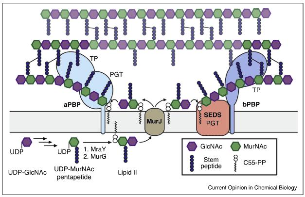 Proses sintesis peptidoglikan, bahan utama pembentuk dinding sel bakteri