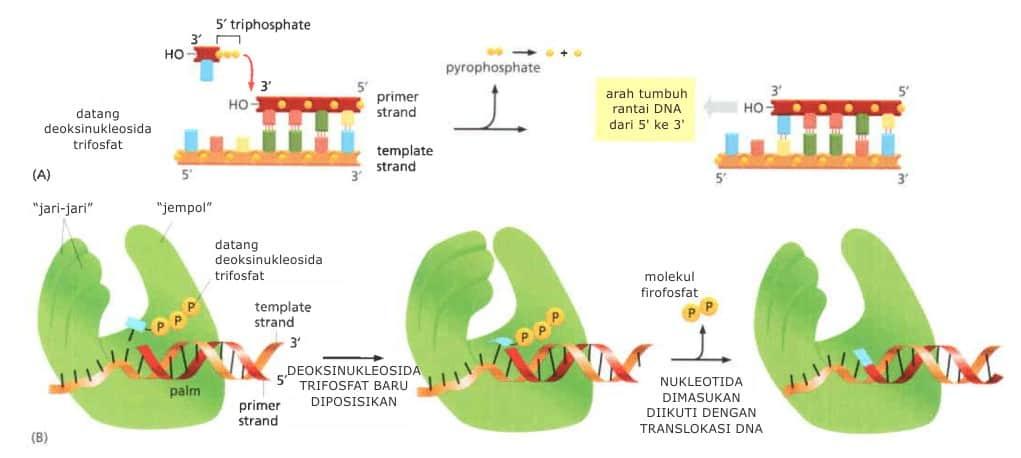 Bagan struktur DNA polimerase, seperti tangan.